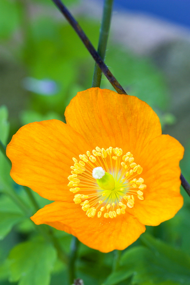 Iceland poppy, Papaver nudicaule, close-up detail of a single orange flower with yellow stamen against a green leafy background.