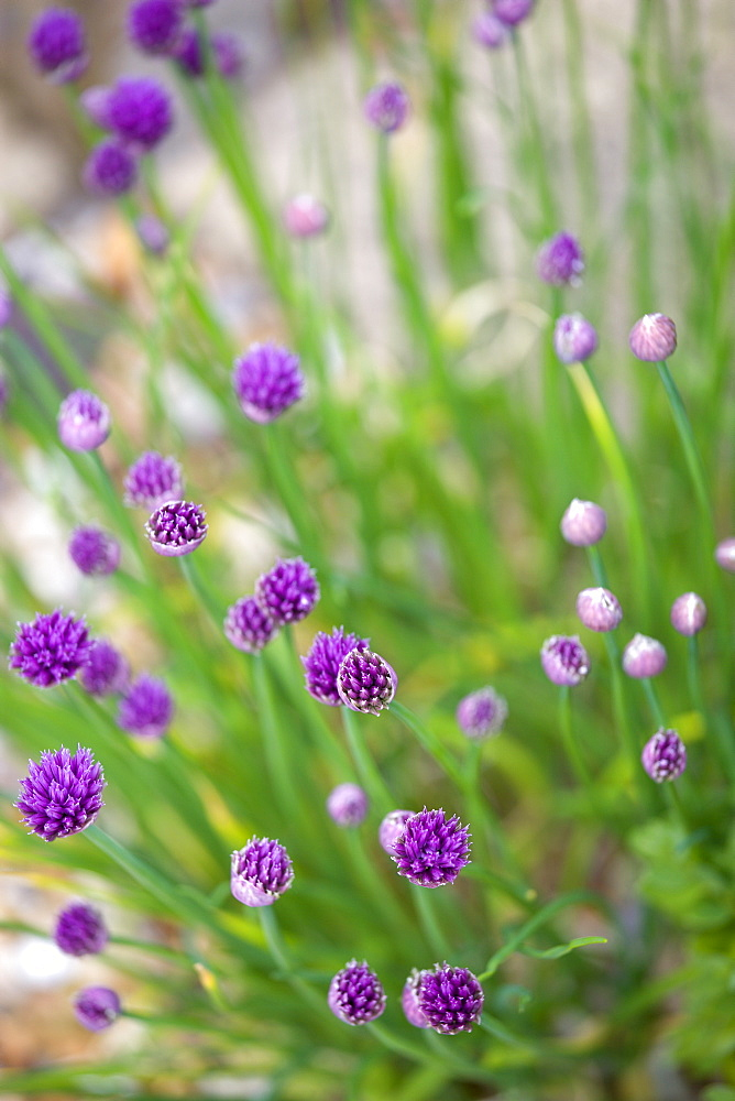 Chives, Allium schoenoprasum, purple flowers on long green stems of the garden herb growing in a garden border.