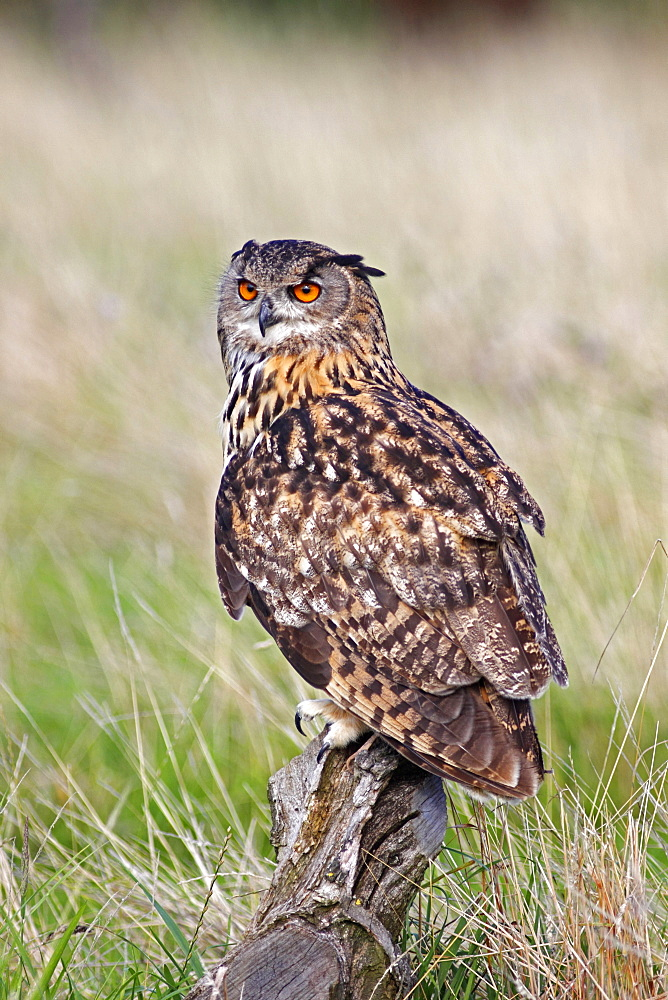 Animals, Birds, Owl, European Eagle Owl, Bubo bubo, Perched on log in moorland, Suth West, England, UK.