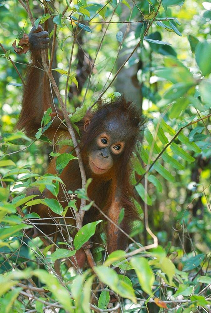 WILDLIFE Apes Orang Utans Baby Orang Utan  pongo pygmaeus  at rehabilitation centre in Borneo
