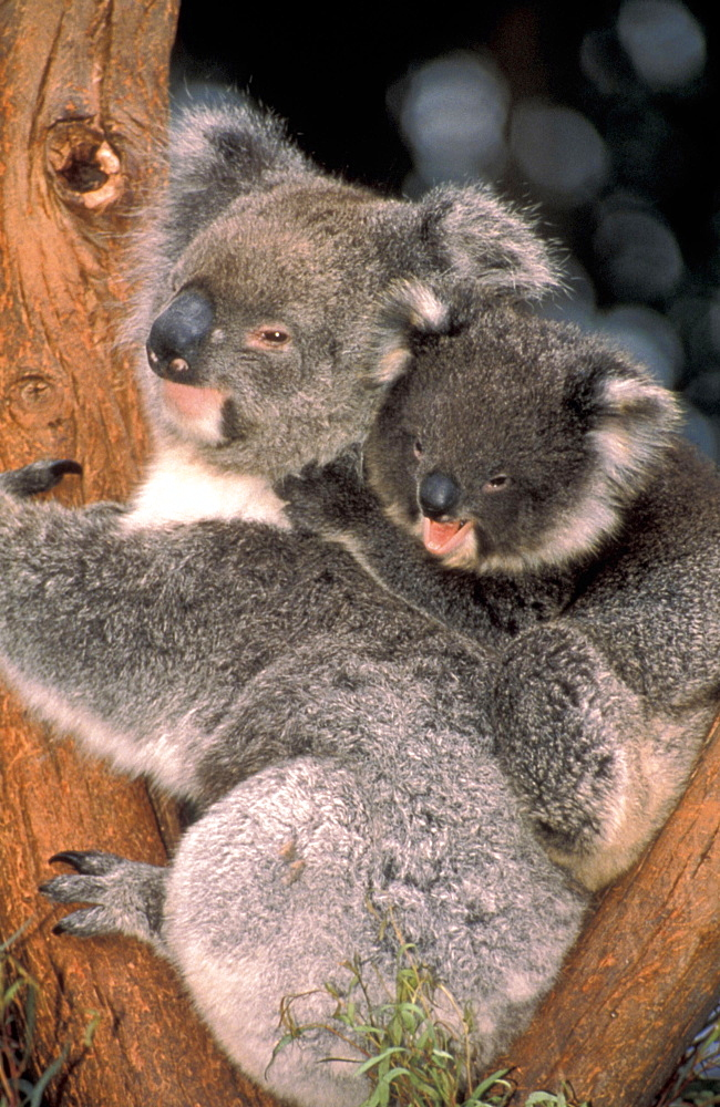 AUSTRALIA  Animals Koala bear and baby Phascolarctos