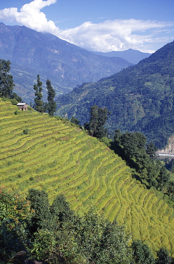 Rice terraces with mountain landscape behind, Sikkim, India