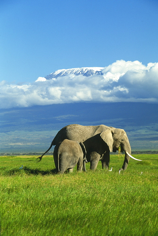 KENYA  Amboseli National Park African elephant and baby with Mount Kilimanjaro in the background surrounded by clouds. Formerly Kaiser-Wilhelm-Spitze, is an inactive stratovolcano.