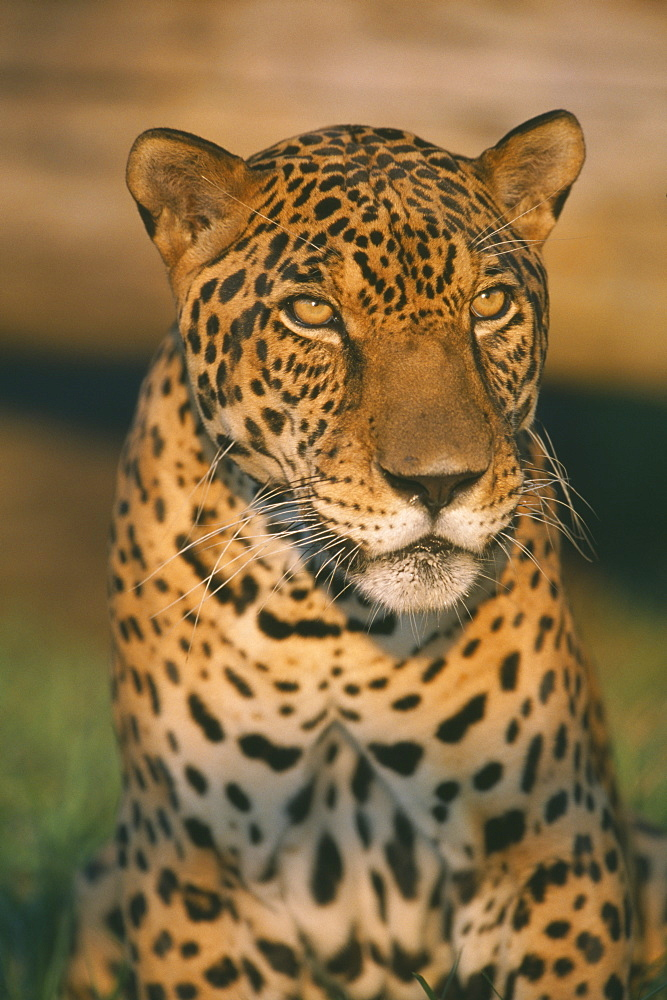 ANIMALS Big Cats Jaguar Portrait of Brazilian Jaguar