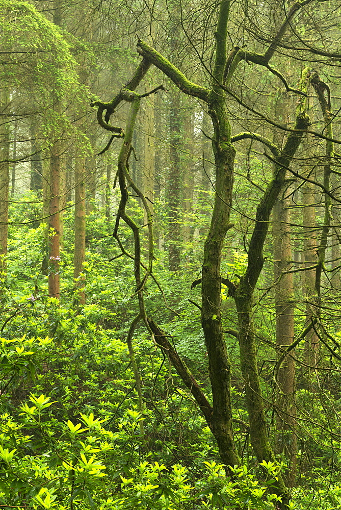 Rhododendrons thriving in woodland, Devon, England, United Kingdom, Europe