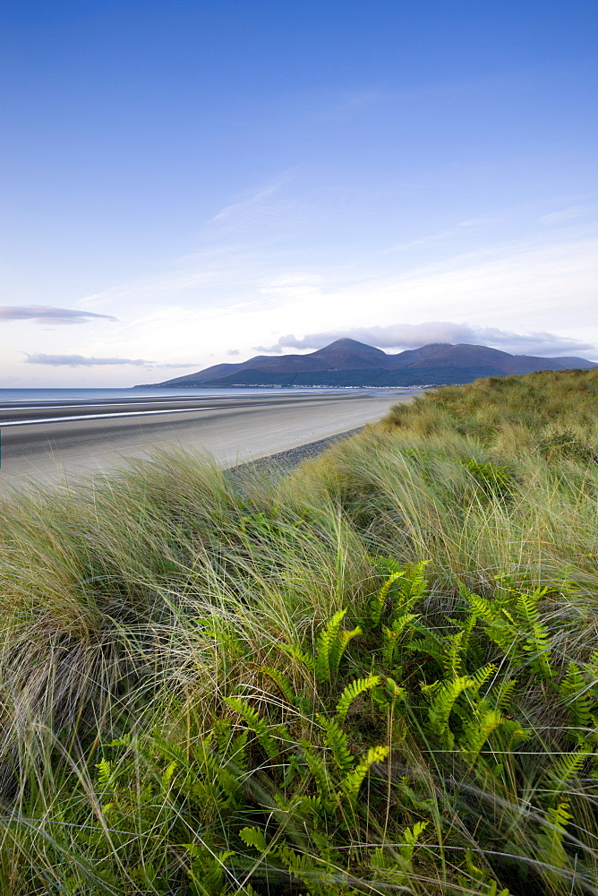 Ferns growing amongst the sand dunes at Murlough Nature Reserve, with views to Dundrum Bay and the Mountains of Mourne beyond, County Down, Ulster, Northern Ireland, United Kingdom, Europe