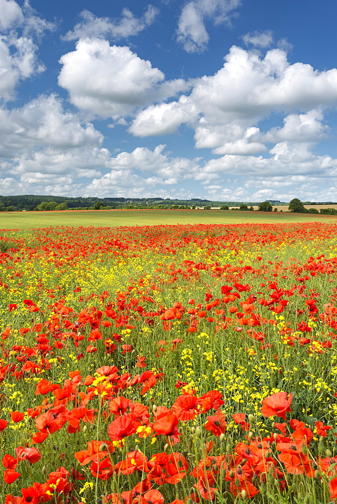 Wild poppies and rapeseed flowering in summer in a Dorset field, England, United Kingdom, Europe