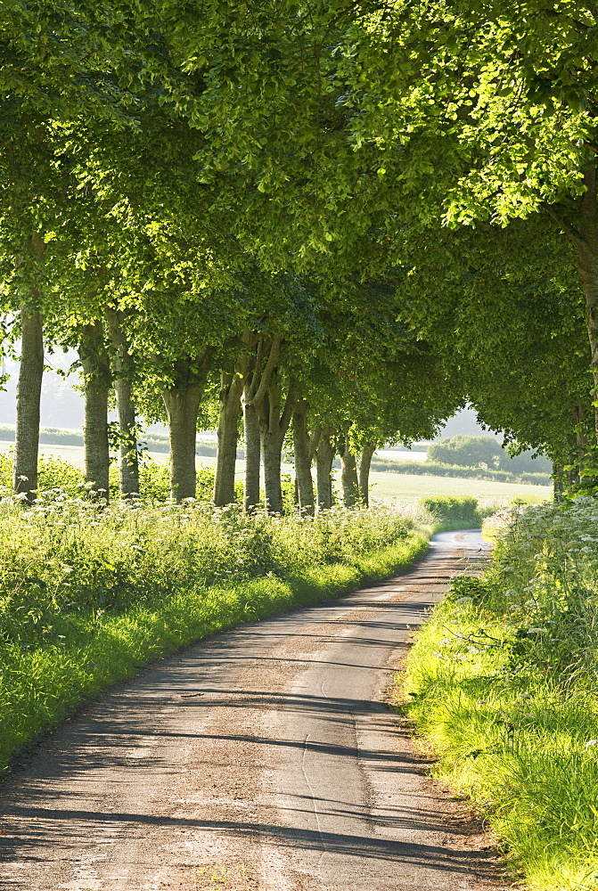Tree lined country lane in summer, Dorset, England, United Kingdom, Europe