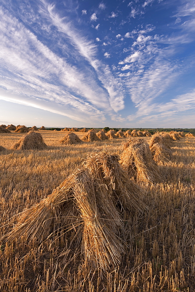 Corn stooks harvested for thatching purposes, Devon, England, United Kingdom, Europe