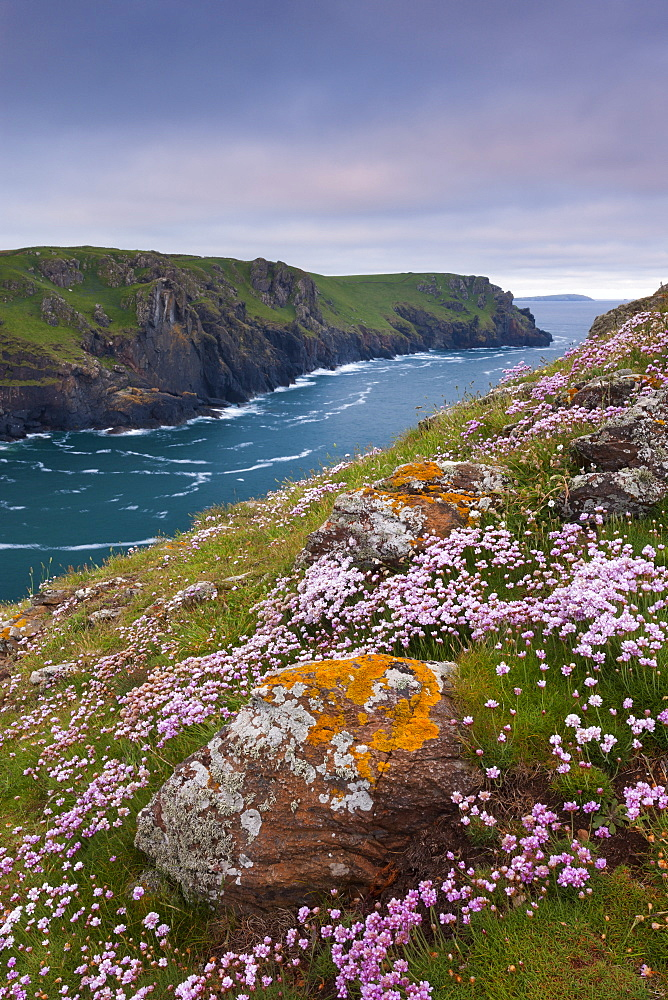Sea pink wildflowers flowering on the cliff tops on The Rumps, North Cornwall, England, United Kingdom, Europe