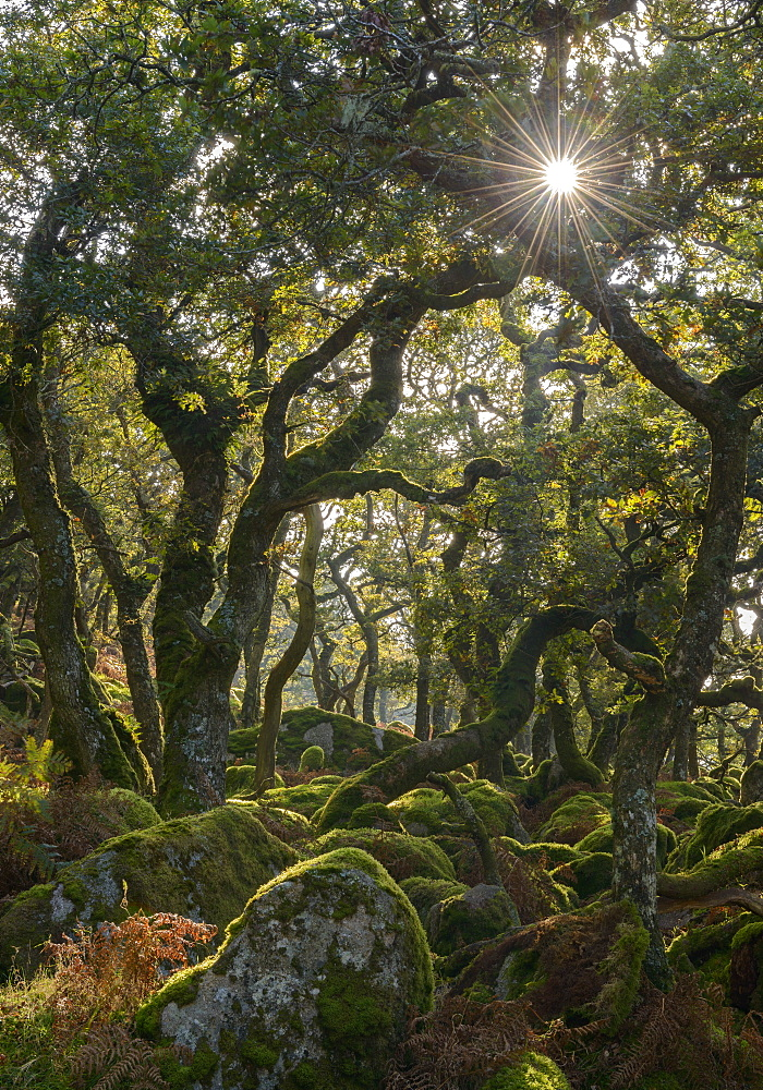 Sunshine radiates through Black a Tor copse, an ancient oak woodland on Dartmoor's high moorland, Devon, England, United Kingdom, Europe - 799-3413