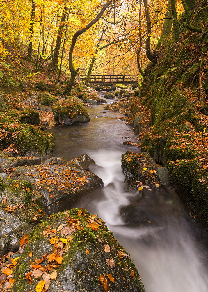 Autumnal foliage surrounding Stock Ghyll Beck near Ambleside, Lake District, Cumbria, England, United Kingdom, Europe