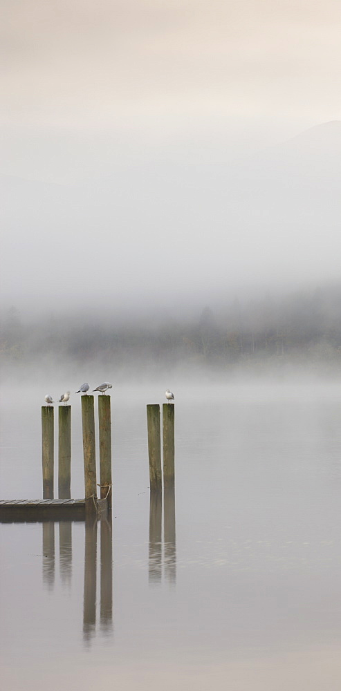 Gulls perched on jetty posts on a misty autumn morning, Derwent Water, Keswick, Lake District National Park, Cumbria, England, United Kingdom, Europe - 799-355