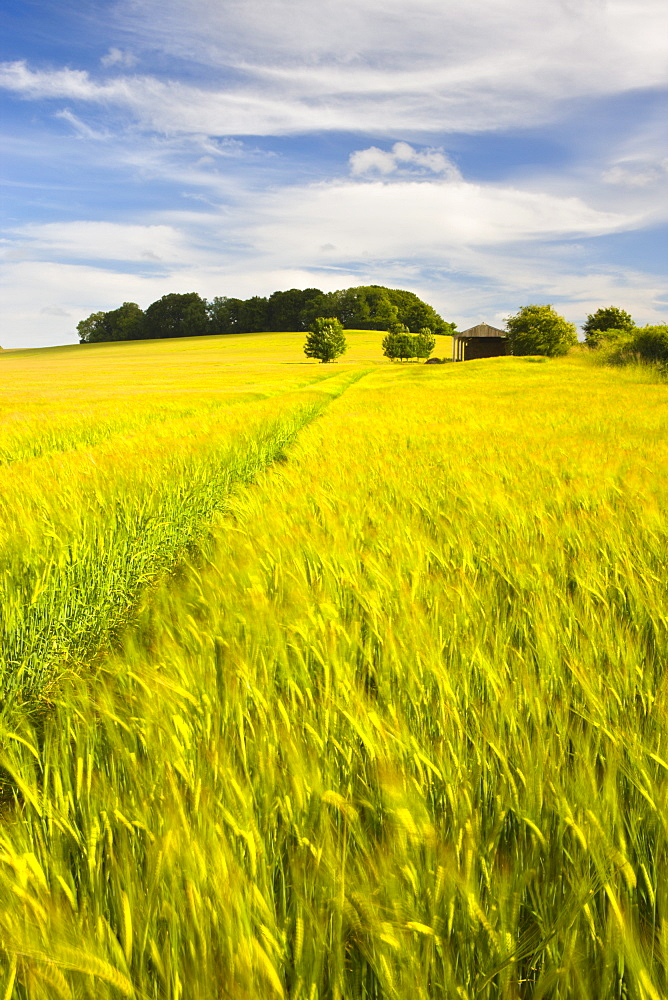 Summer crops growing in a Dorset field, England, United Kingdom, Europe