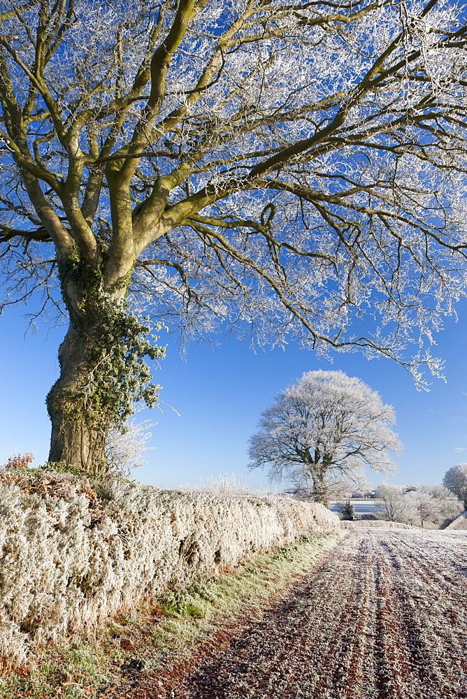 Hoar frosted beech trees in a field hedgerow in winter, Bow, Devon, England, United Kingdom, Europe