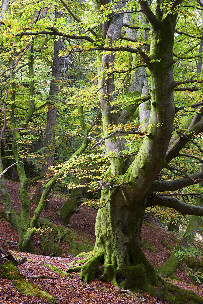 Ancient beech tree in deciduous woodland near Callander, Loch Lomond and The Trossachs National Park, Stirling, Scotland, United Kingdom, Europe - 799-827