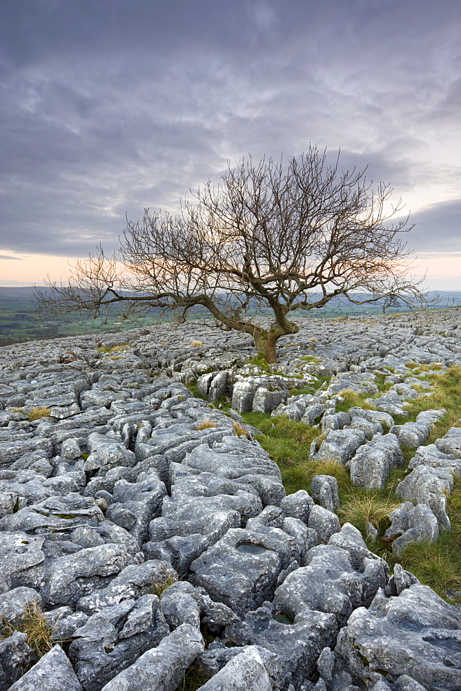Gnarled tree growing through the limestone pavement on Twistleton Scar, Yorkshire Dales National Park, Yorkshire, England, United Kingdom, Europe - 799-833