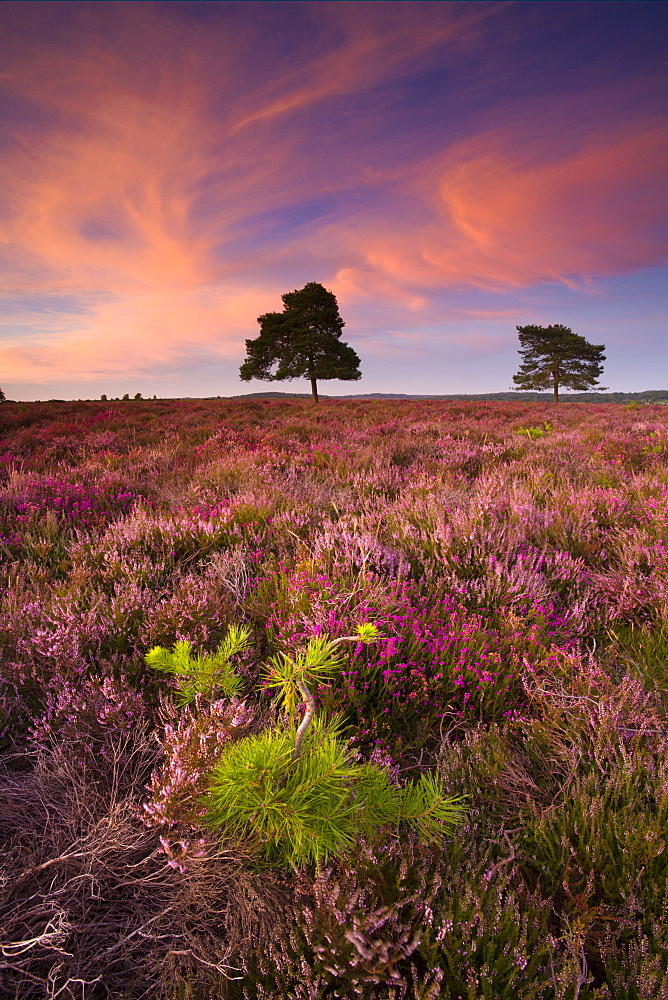 Pine sapling and mature trees growing amongst flowering heather on heathland, Rockford Common, New Forest National Park, Hampshire, England, United Kingdom, Europe