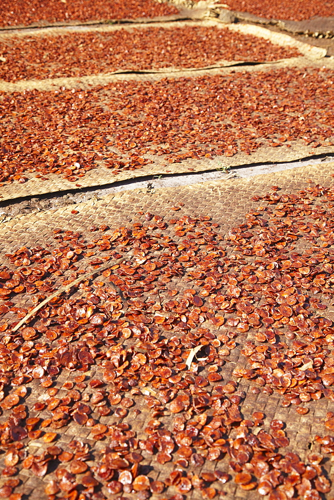 Betel nut drying in the sun, Kampong Cham, Cambodia, Indochina, Southeast Asia, Asia