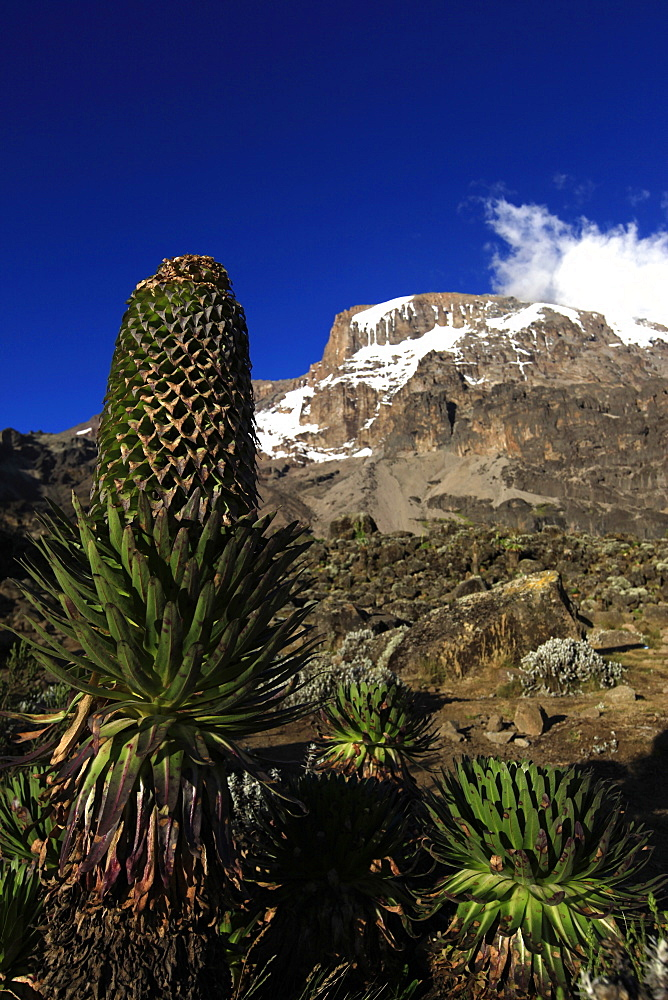 A giant groundsel growing at 4000 metres elevation under the Barranco Wall of Mount Kilimanjaro, Tanzania, East Africa, Africa