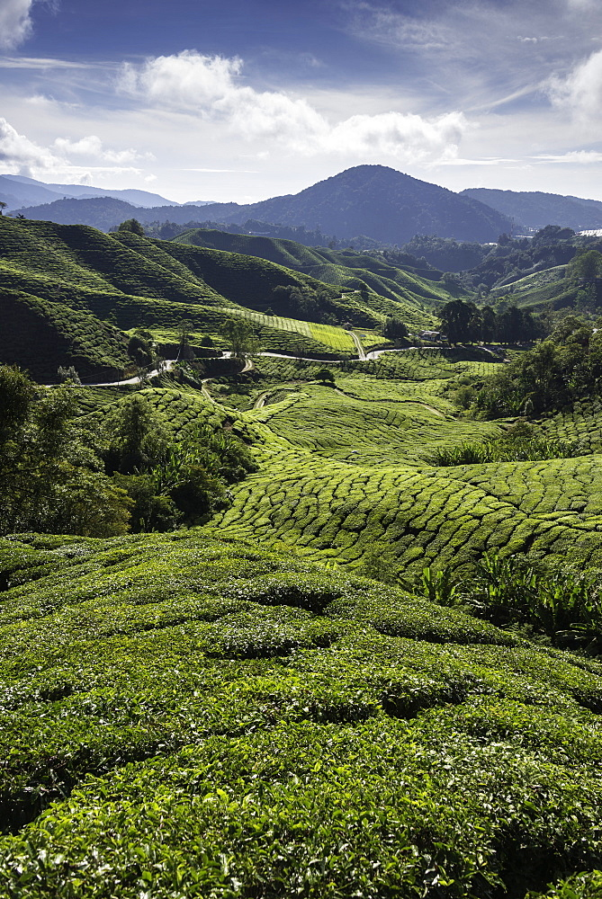 Tea plantations in the Cameron Highlands, Malaysia, Southeast Asia, Asia