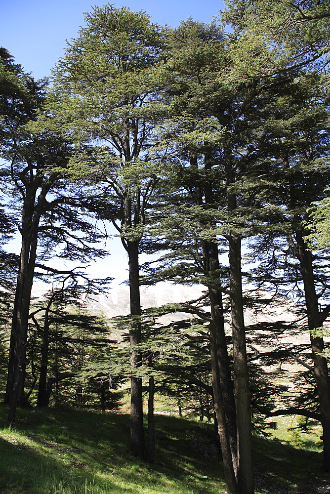 The Cedar Trees of Bcharre, Qadisha Valley (Holy Valley), UNESCO World Heritage Site, Lebanon, Middle East