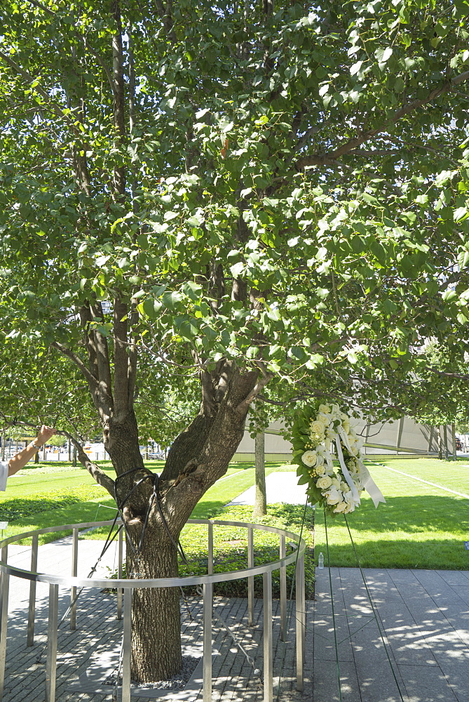 A callery pear tree now known as the Survivor Tree, 9/11 Memorial. World Trade Center, Manhattan, New York City, New York, United States of America, North America