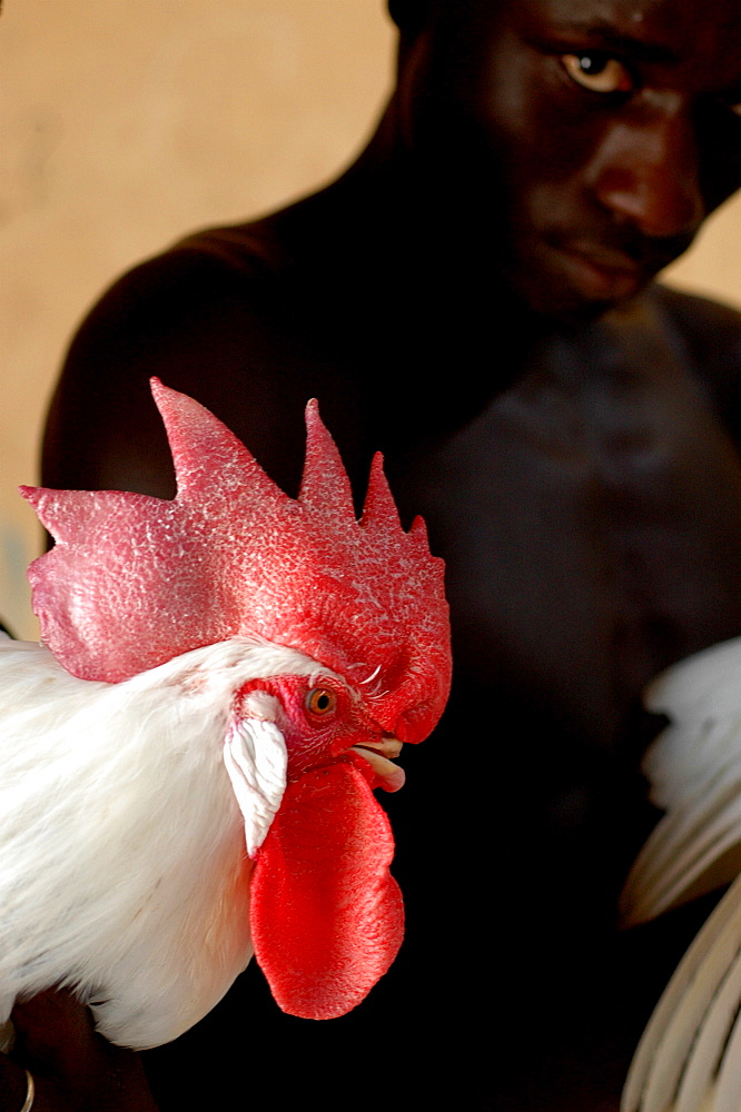 Man with rooster, Mbao, Senegal, West Africa, Africa
