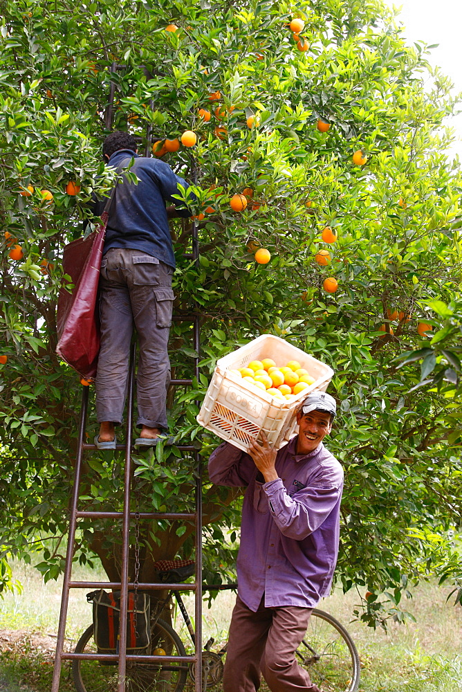 Orange harvest, Taroudan, Morocco, North Africa, Africa