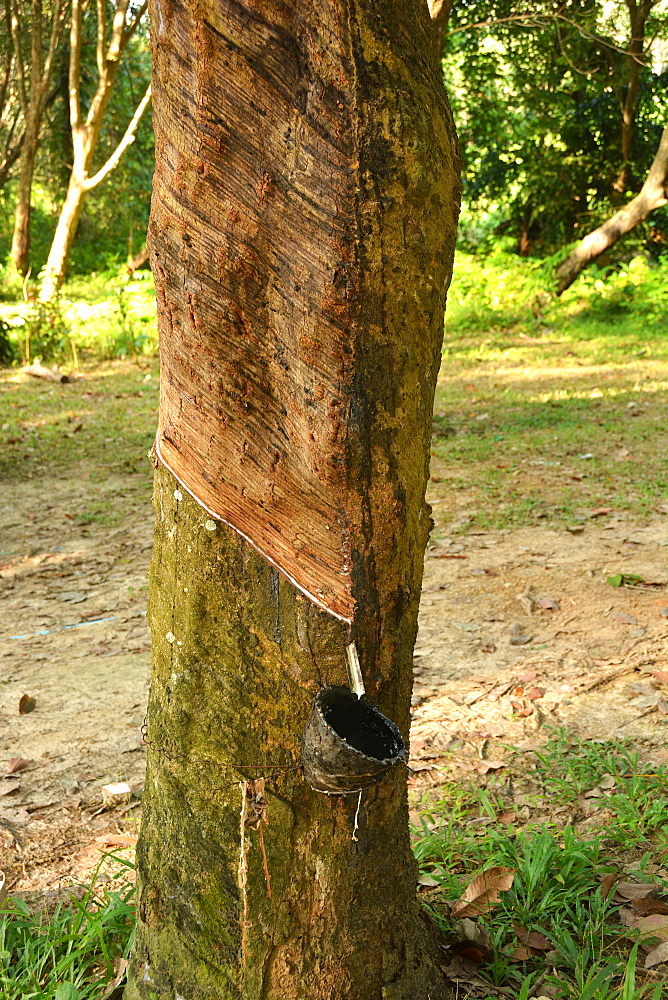 Rubber tapping on Koh Mook, Thailand, Southeast Asia, Asia