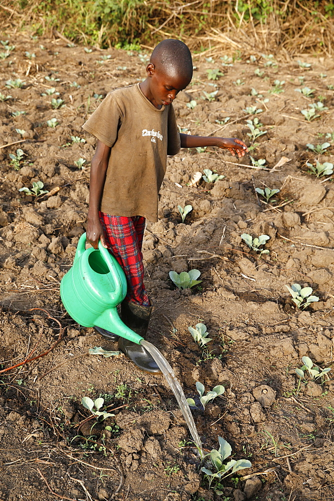 Farmer's son watering a vegetable plantation, Uganda, Africa
