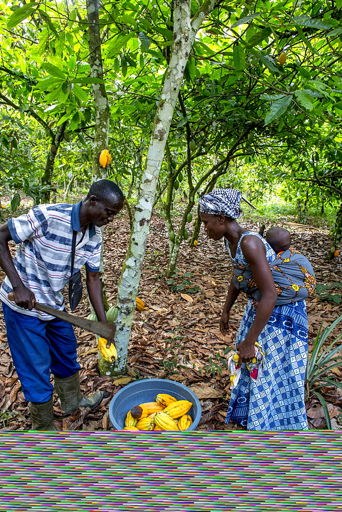 Cocoa planters harvesting in their plantation near Agboville, Ivory Coast, West Africa, Africa