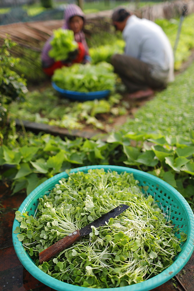 Organic vegetable gardens in Tra Que Village, fresh green herbs in basket, Hoi An, Vietnam, Indochina, Southeast Asia, Asia - 809-7870