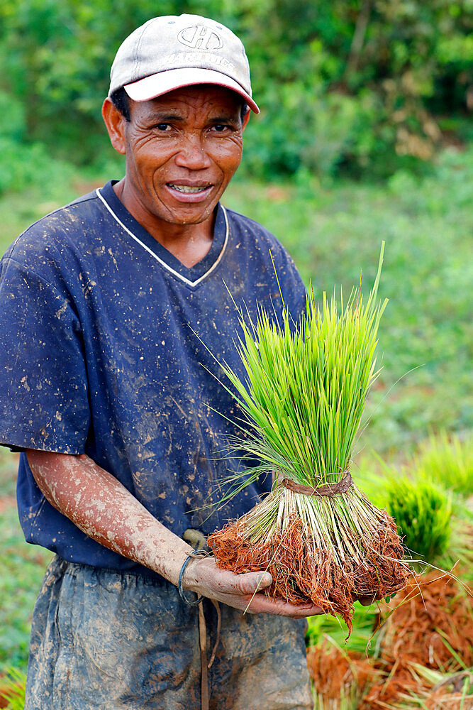 Farmer with rice seedlings in hands, Madagascar, Africa