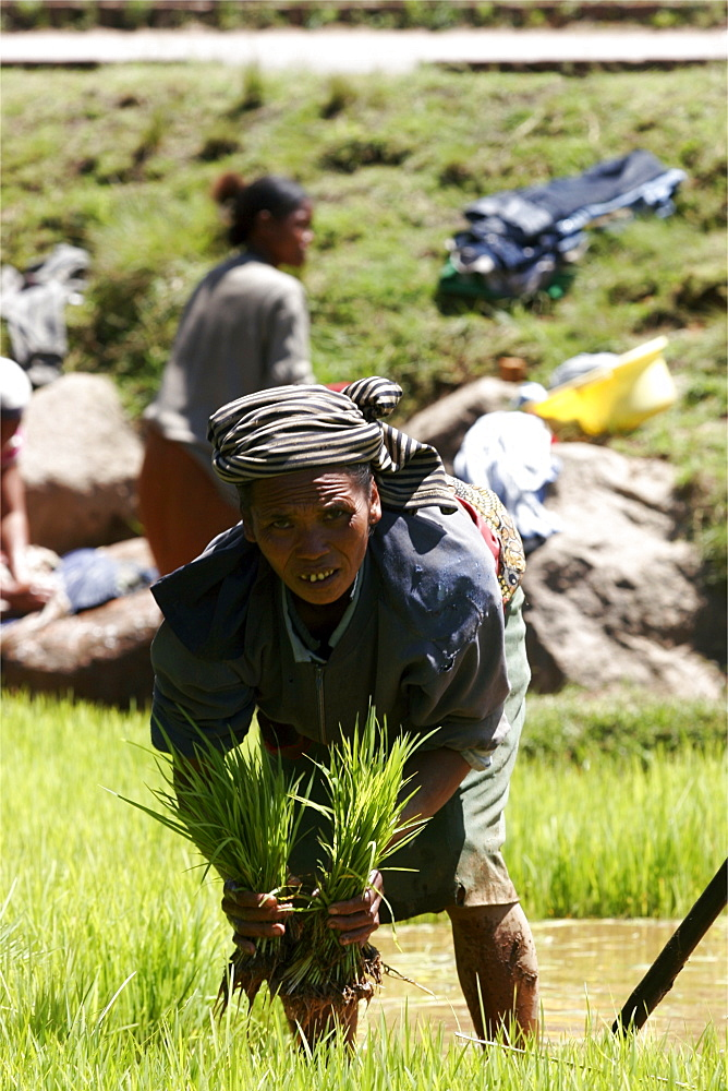 Working in the rice plantations between Tana and Antsirabe, Madagascar, Africa