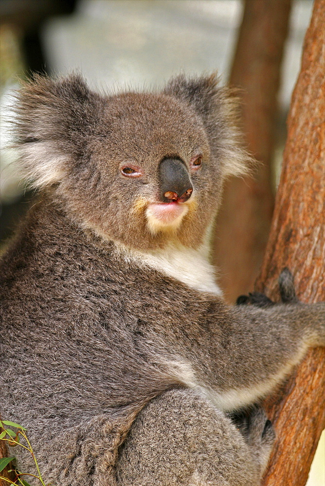Australian koala in the Taronga Zoo of Sydney, New South Wales, Australia, Pacific