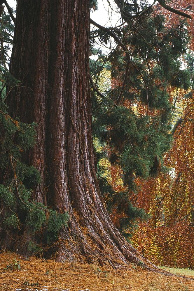 Giant redwoods (Sequoiadendron Giganteum) in the woodland, Batsford Arboretum, Gloucestershire, England, United Kingdom, Europe