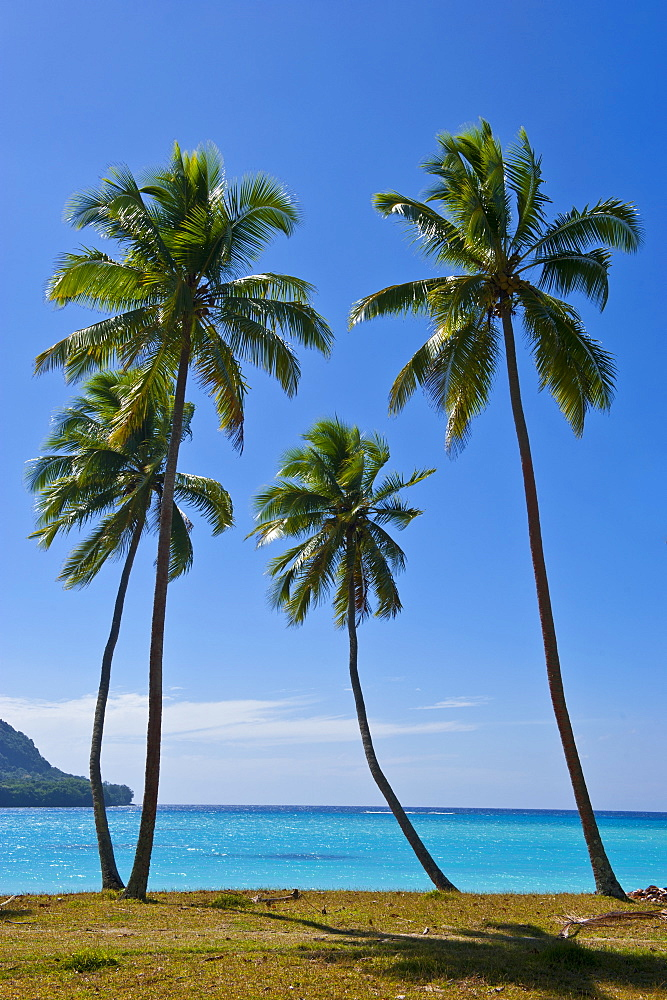 Palm trees, Port Orly, Island of Espiritu Santo, Vanuatu, South Pacific, Pacific