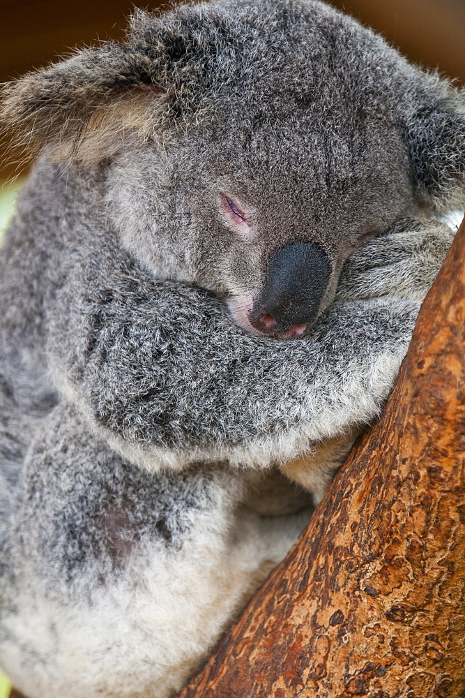 Koala (Phascolarctos cinereus) in the Townsville sanctuary, Queensland, Australia, Pacific