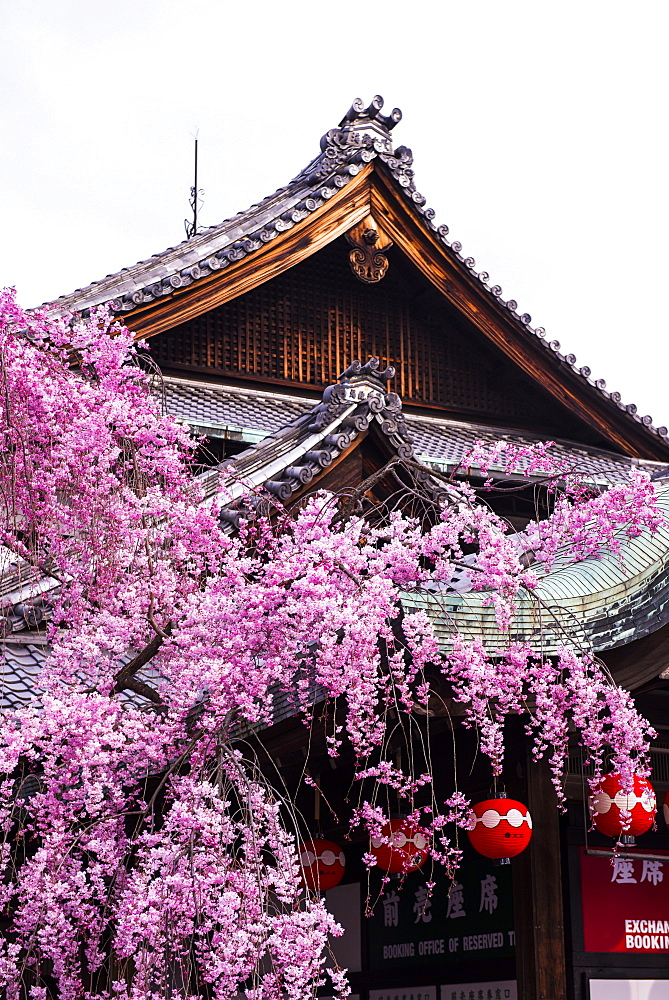 Cherry blossom tree in the Geisha quarter of Gion, Kyoto, Japan, Asia