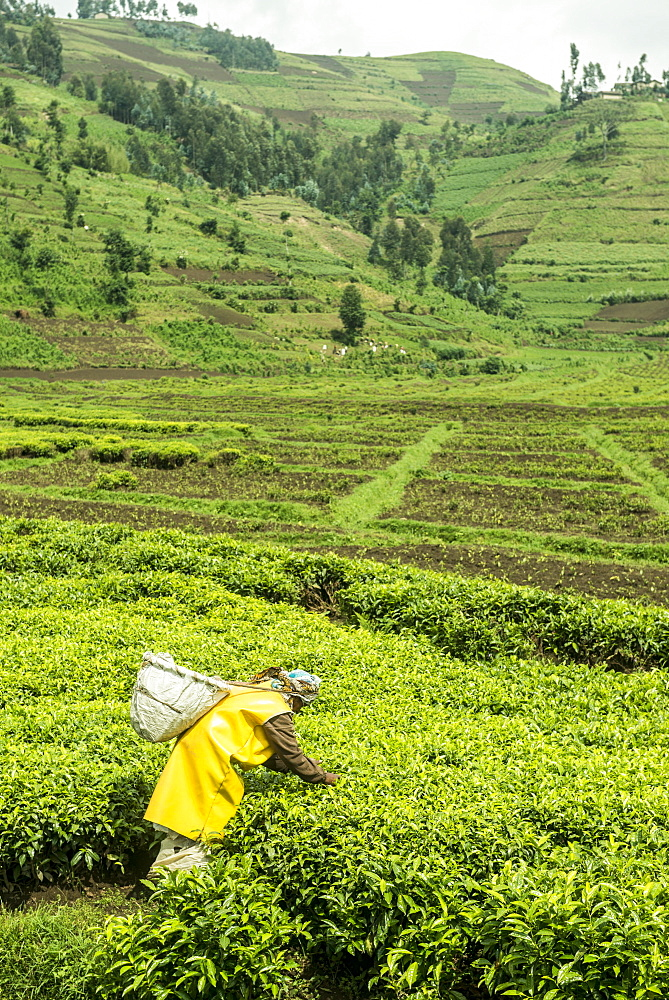 Worker picking tea on a Tea plantation in the Virunga mountains, Rwanda, Africa