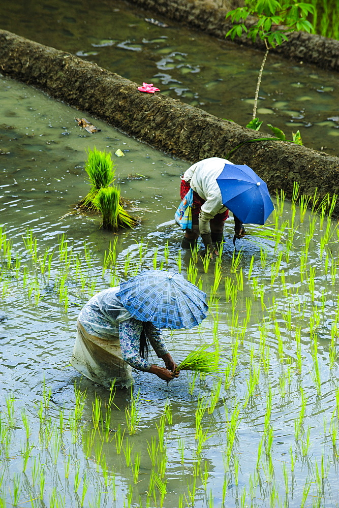 People harvesting in the UNESCO World Heritage Site of Banaue, Northern Luzon, Philippines, Southeast Asia, Asia