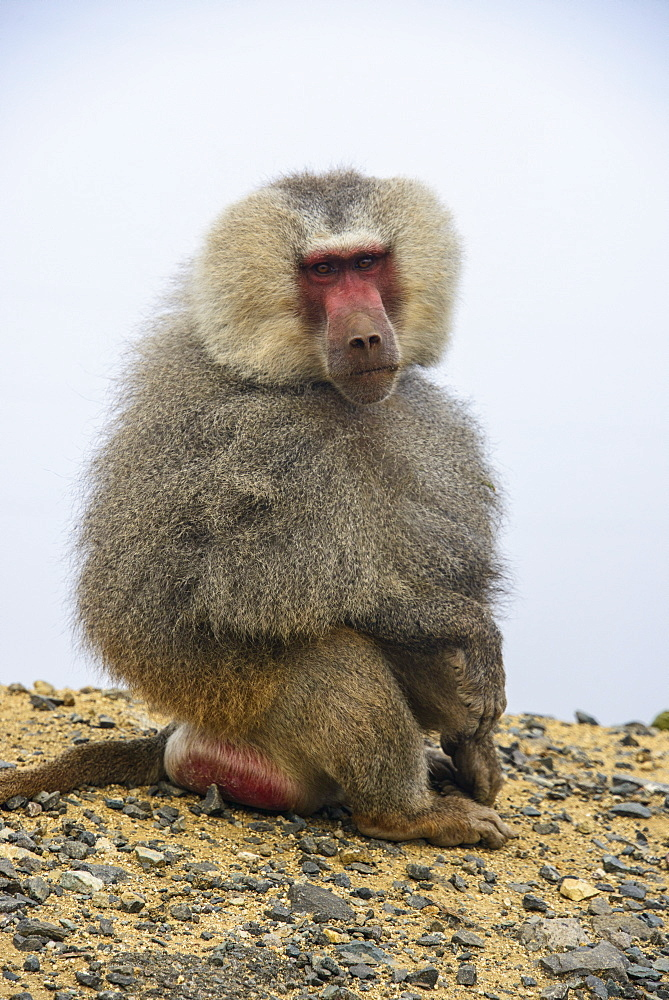 Hamadryas baboon (Papio hamadryas), along the road from Massawa to Asmara, Eritrea, Africa
