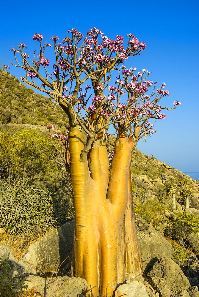 Bottle tree in bloom (Adenium obesum), endemic tree of Socotra, island of Socotra, UNESCO World Heritage Site, Yemen, Middle East