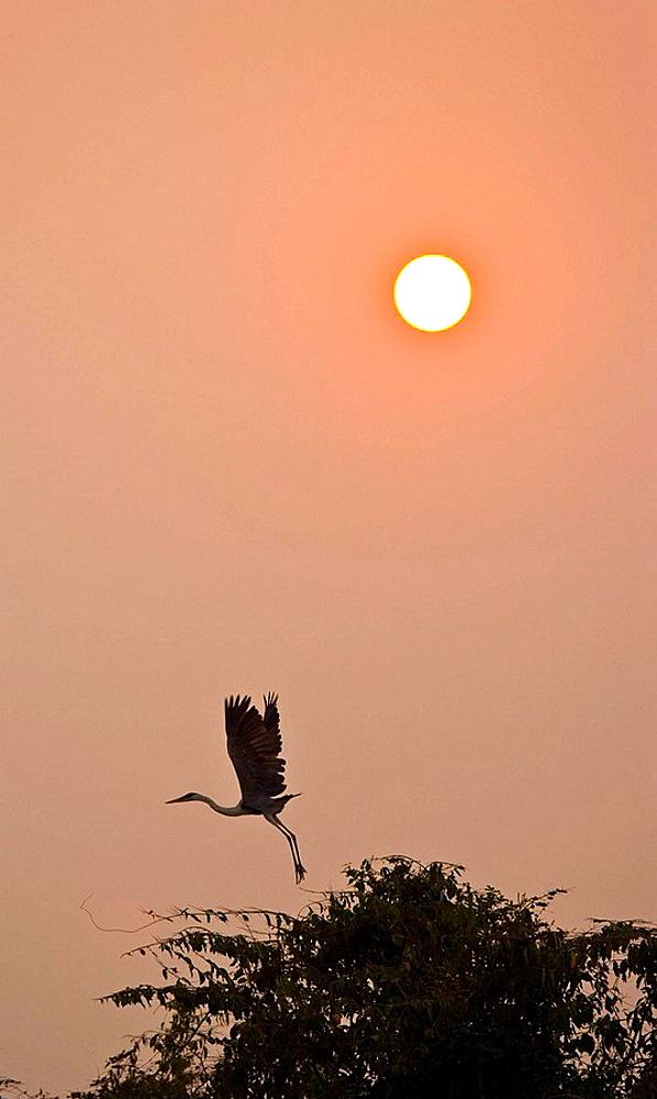 Cocoi Heron (Ardea cocoi), Pantanal Matogrossense National Park, Mato Grosso, Brazil