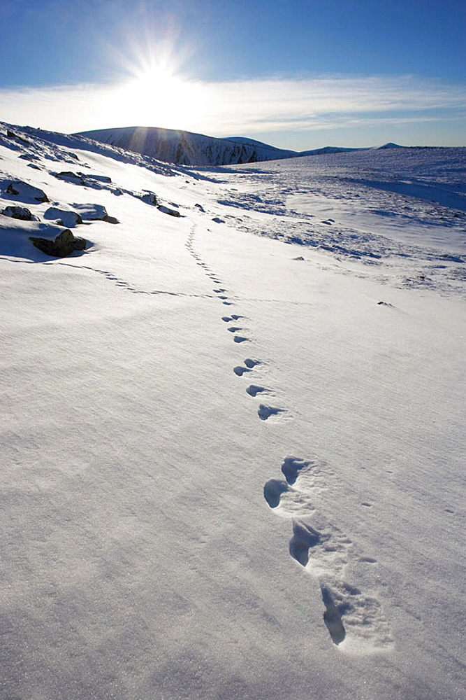 Mountain Hare (Lepus timidus) footprints in snow, Grampian Mountains, Cairngorms National Park, Scotland, Januray 2006.