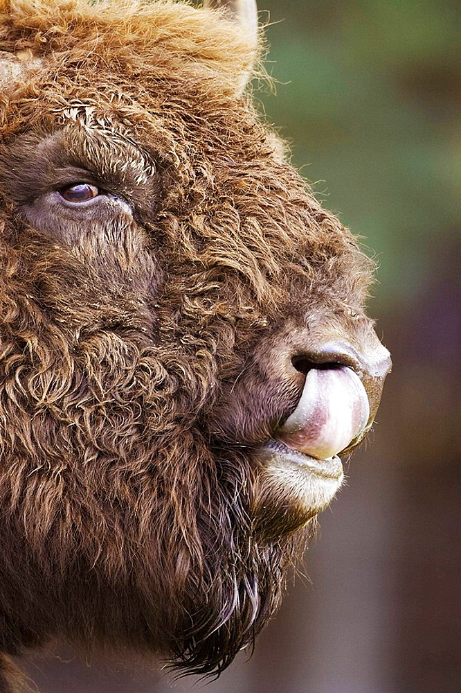 European Bison Bison bonasus close-up portrait of female UK Highland Wildlife Park