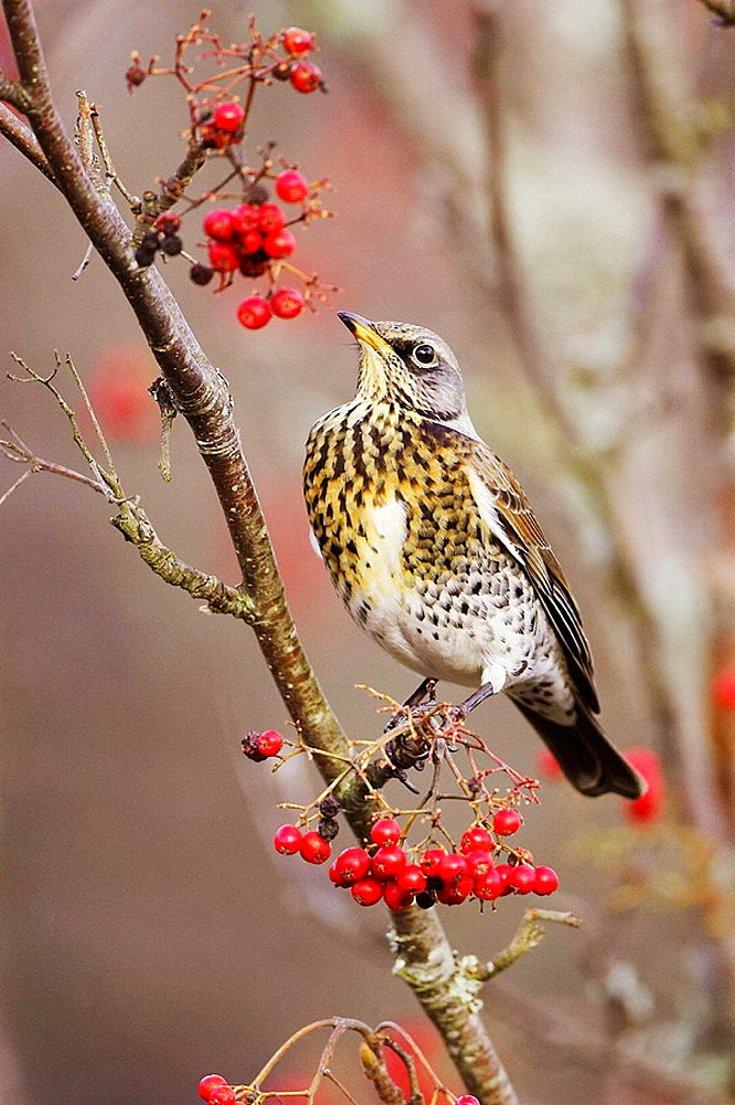 Fieldfare - Turdus pilaris - adult perched in berry-laden rowan Scotland November 2006