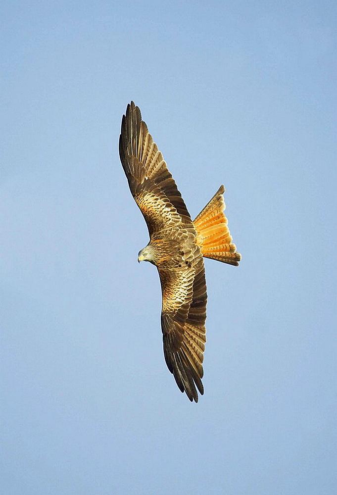 Red kite Milvus milvus adult in flight back view Wales UK Jabuary 2007