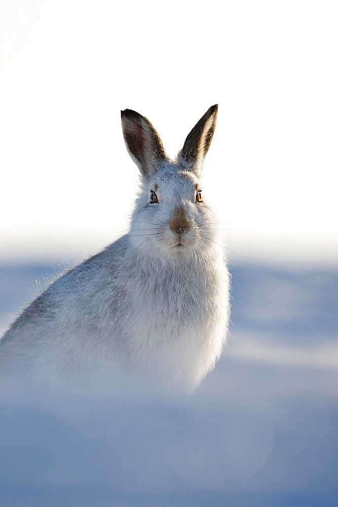 Mountain hare Lepus timidus portrait of adult in winter pelage coat Grampian mountains, Scotland January